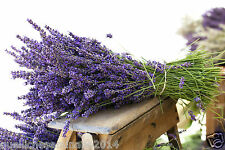 500 SEMI /seeds DI LAVANDA vera PROVENZALE (lavandula officinalis) PROFUNAZIONE