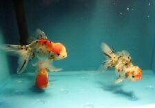BUYGOLDFISHONLINE.COM Live Calico Oranda Goldfish (M) for aquariums and ponds
