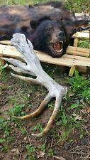 NONTYPICAL Elk Shed Real Rare Antler Lamp Moose Deer Log Cabin Decor Crafts WILD