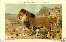 1893= LEONE AFRICANO = Mammiferi = Antica Stampa CROMOLITOGRAFIA