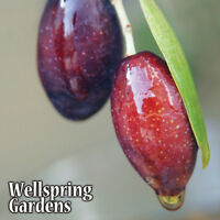 Olive Tree Arbequina - LIVE PLANT Olea europaea