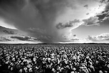 Farm Photography Print - Picture of Cotton Field and Storm in Oklahoma