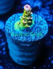 Cornbred's Omg Acro - Frag - Live Coral
