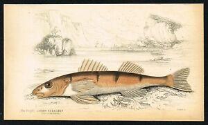 Endangered European Zinglel Asper Perch, Hand-Colored, Nat.Library, Lizars 1835