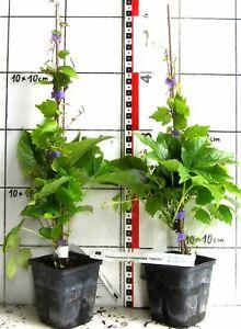 Parthenocissus tricuspidata  -  selbstklimmend, raschwüchsig, Wilder Wein