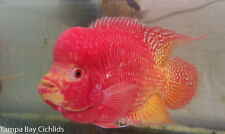 (1) Golden Flame Flowerhorn Cichlid 3.0-3.5 INCH Live Fish Fully Guaranteed