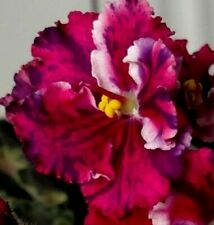 """African Violet K's Freedom, Fancy Coral-Red Frilled Pansy/Purple Fantasy, 3"""" Pot"""