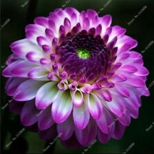 US-Seller Rare Beautiful Perennial Dahlia Flowers Seeds 100PCS(C#)