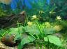Anubias Coffeefolia Loose Rhizome Nana Barteri Live Aquarium Plant BUY2GET1FREE*