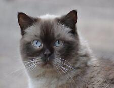 Metal Refrigerator Magnet British Shorthair Cat Light Blue Eyes Cats