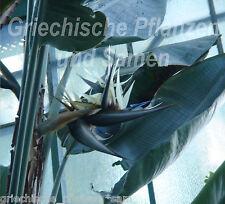Strelitzia nicolai 6 semi freschi Baum-Strelitzie blu-bianco Vaso Balcone