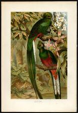 Antique Print-QUETZAL-TROGON-BIRDS-Brehm-1890
