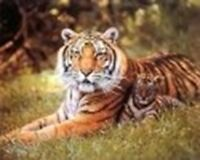 Wild Tiger and Cubs Wildlife Animal Picture Art Print Poster (8x10)