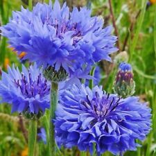 Flower Seeds Cornflower Double Ball Blue For Bedding Garden Pictorial Packet UK