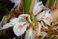 Amomum maximum Java Cardamom UNUSUAL GINGER Seeds!