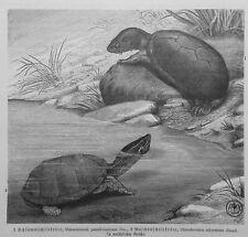 Moschusschildkröte Sternotherus odoratus  Schlammschildkröte   Holzstich 1912