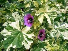 Malva arborea variegata (10 graines)