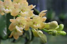 Planta de orquídea gigantea Amarillo. Young. Publica Gratis