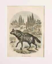 Striped Hyena Animal Print - Antique Victorian Mounted Hand Coloured Print