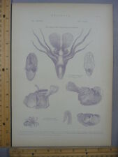 Rare Antique Original VTG Various Mollusk Chart Cuttlefish Engraving Art Print