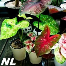 100Pcs Caladium Seeds 7 Kinds Colorful Plants Beautiful Bonsai Garden Decoration