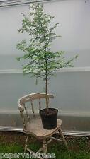 Metasequoia glyptostroboides / Dawn Redwood amazing tree, grown peat free, 2ft+