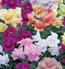Antirrhinum - Twinny Mixed - 25 Seeds