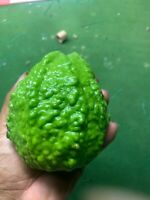 Very Rare Taiwanese White Guava - Very Sweer and Crispy 10 Seeds