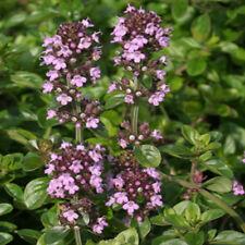 6 Thyme Tabor Herb Plug Plants -Perennial Herb-