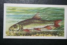 BARBEL  Freshwater Fish  Vintage Illustrated Card # VGC / EXC