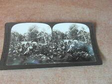 PHOTO STEREOSCOPE STEREOGRAPH 1905 CUBA CUTTING TOBACCO LA HAVANE RECOLTE TABAC
