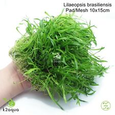 Lilaeopsis brasiliensis Brazilian Micro Sword on Wire Pad 10x15cm Shrimp Safe EU