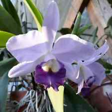 Ctt. Busy Bev 'Blue Jewel'. Cattleya Hybrid Orchid Plant. Blooming Size Coerulea