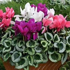 Organic Winter Flower Seeds Cyclamen Persian Mix (Cyclamen persicum)Indoor Plant