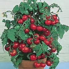 V245 Tomato Bush 'Tiny Tim' x30 seeds
