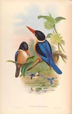 J Gould riproduzione BIRD print HALCYON atricapillus da volatili dell' Asia. # 32