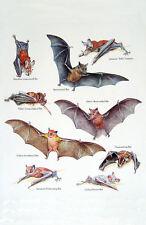 Framed Print - Vintage Depiction of a Variety of Bat Species (Antique Picture)