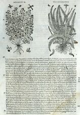 Helechos Adiantum Trichomanes Botánica Matthioli Mattioli Matthiole Dioscorides