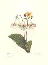 REDOUTE Botanical GLOXINIE BUTTERFLY Flower VINTAGE Art Print  #137 NOT A COPY!