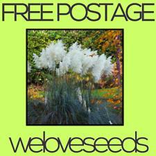 LOCAL AUSSIE STOCK - Rare White Pampas, Ornamental Grass Seeds ~10x FREE SHIP