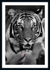 BLACK & WHITE MAJESTIC TIGER LARGE PHOTO PRINT ONLY OR FRAMED