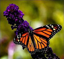 Black Knight Butterfly Bush Seeds 50 Seeds- Easy to grow -Comb S/H See our store
