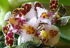 100x gastrochilus bellinus graines Orchidée Plant Jardin Maison NEUF #1512