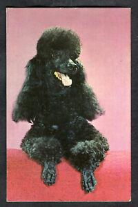 C1960s View: A Black Poodle Dog