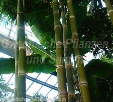 🔥 Riesen-Bambus * Phyllostachys h. pubescens * frostfest