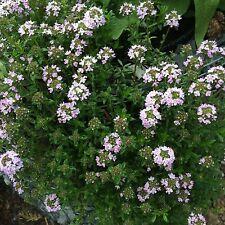 Gartenthymian Echter Thymian Thymus vulgaris Würzkraut Heilkraut Bienenweide