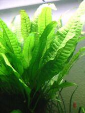 Live Aquatic Plant: Java Fern