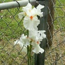 """Iris bulb """"Sly Fox"""" rhizome flag White with Red Beard very Tall blooms in may"""