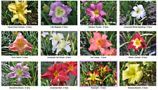 Daylillies - Late Bloomers (Total 24) - Various Colors - All Named Daylillies