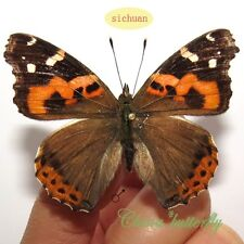 100 pcs wholesale lots unmounted butterfly nymphalidae vanessa indica A1 A1-